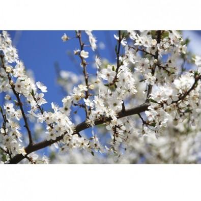 Fototapeta jabłoń kwiaty