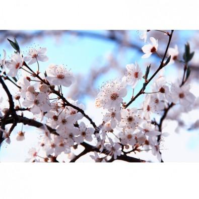 Fototapeta Kwiatowa przesłona | fototapeta kwiaty jabłoni
