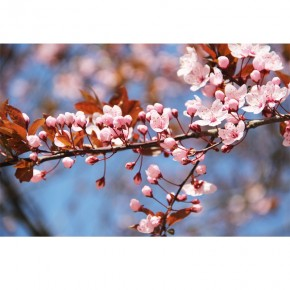 wiśnia - małe kwiatki na gałązce