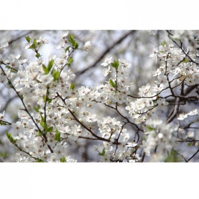 Fototapeta słodka jutrzenka z kwiatami na jabłoni