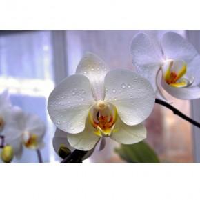 okno z orchideą