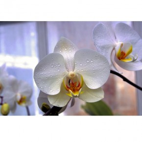 Fototapeta okno z orchideą