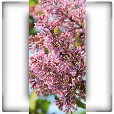 Bez | Fototapeta kwiaty