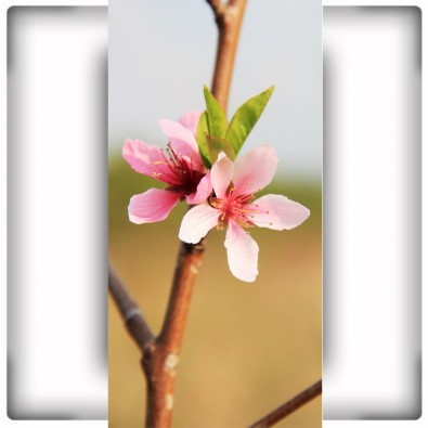 Fototapeta różowy kwiatuszek