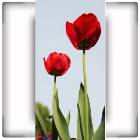 Fototapeta wysokie tulipany