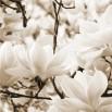 Fototapeta sonata magnolii w kolorze sepii