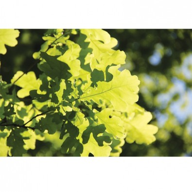 Fototapeta liście dębu słońce