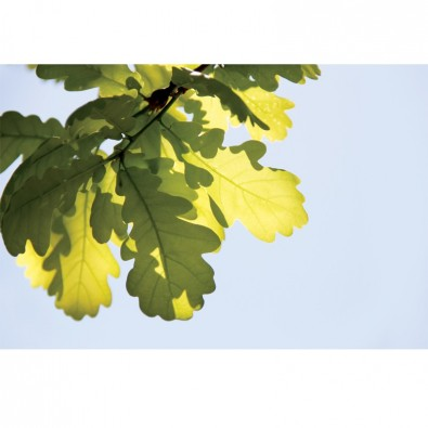 Fototapeta liście dębu