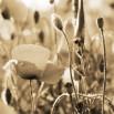 Fotototapeta uśpiona tęsknota - zmiana koloru na sepię