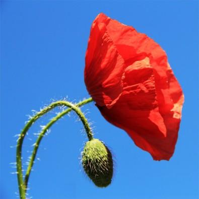 Fototapeta czerwony samotny mak