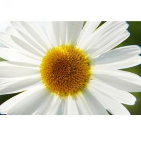 Margaretki | kwiaty
