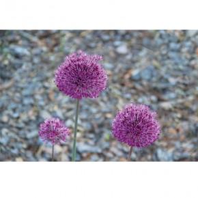Fototapeta kwiaty czosnku