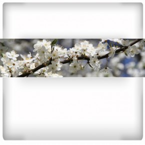 Fototapeta panoramiczna kwiaty jabłoni