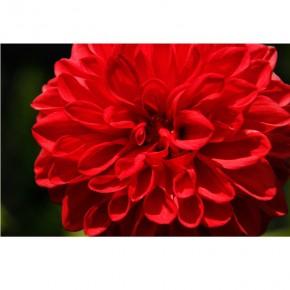 Dalia | Fototapeta kwiaty