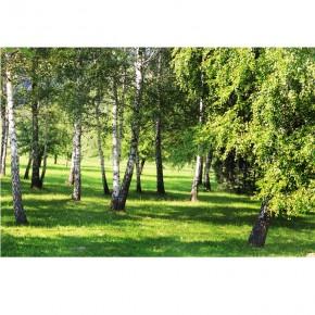 drzewa brzozy