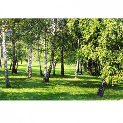Fototapeta drzewa brzozy