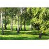 Fototapeta brzozowa łąka