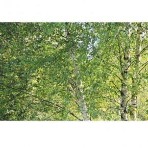 brzozowe liście