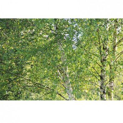 Fototapeta brzozowe liście