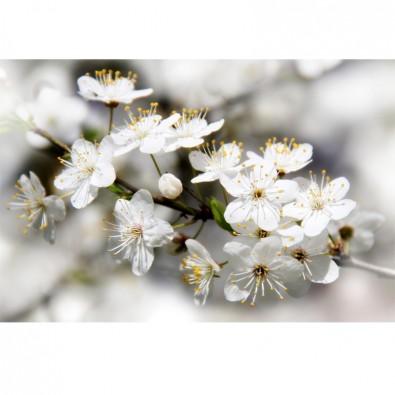 Fototapeta kwiaty jabłoni na gałązce