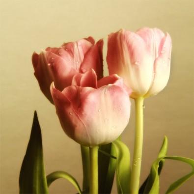 Fototapeta trzy tulipany