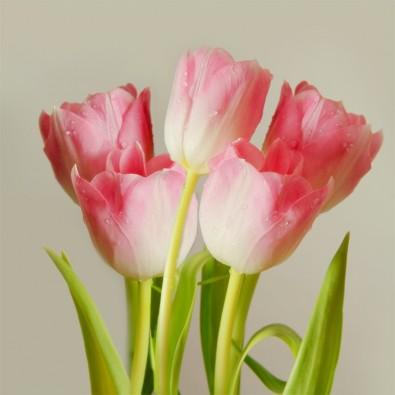 Fototapeta różowe tulipany