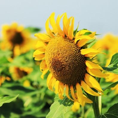 Słoneczny | Fototapety słoneczniki