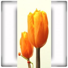 tulipan na wąską ścianę