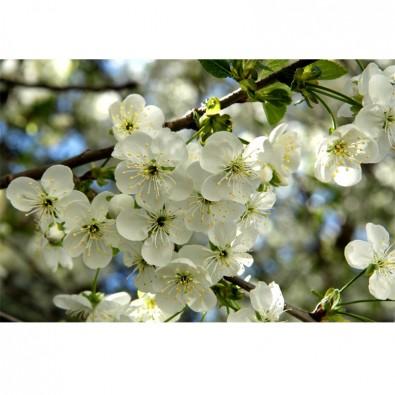 Fototapeta miłosne jabłonie
