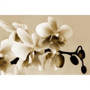 Fototapeta bezowa orchidea