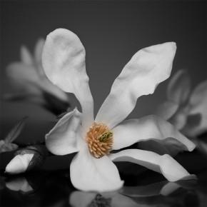 Fotapeta magnolie do salonu