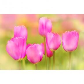 Fototapeta tulipany różowe