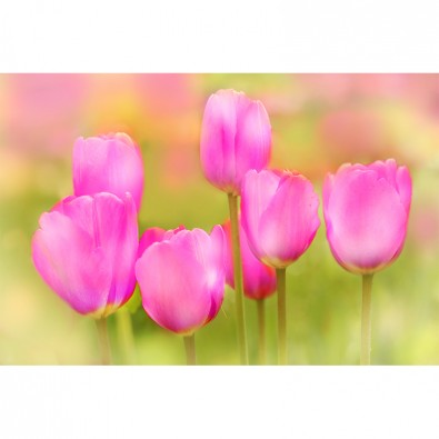 Fototapeta magenta tulipan