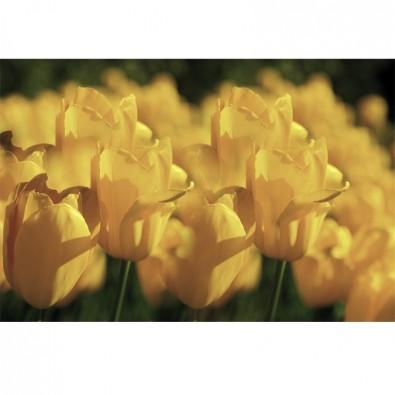Fototapeta polne tulipany